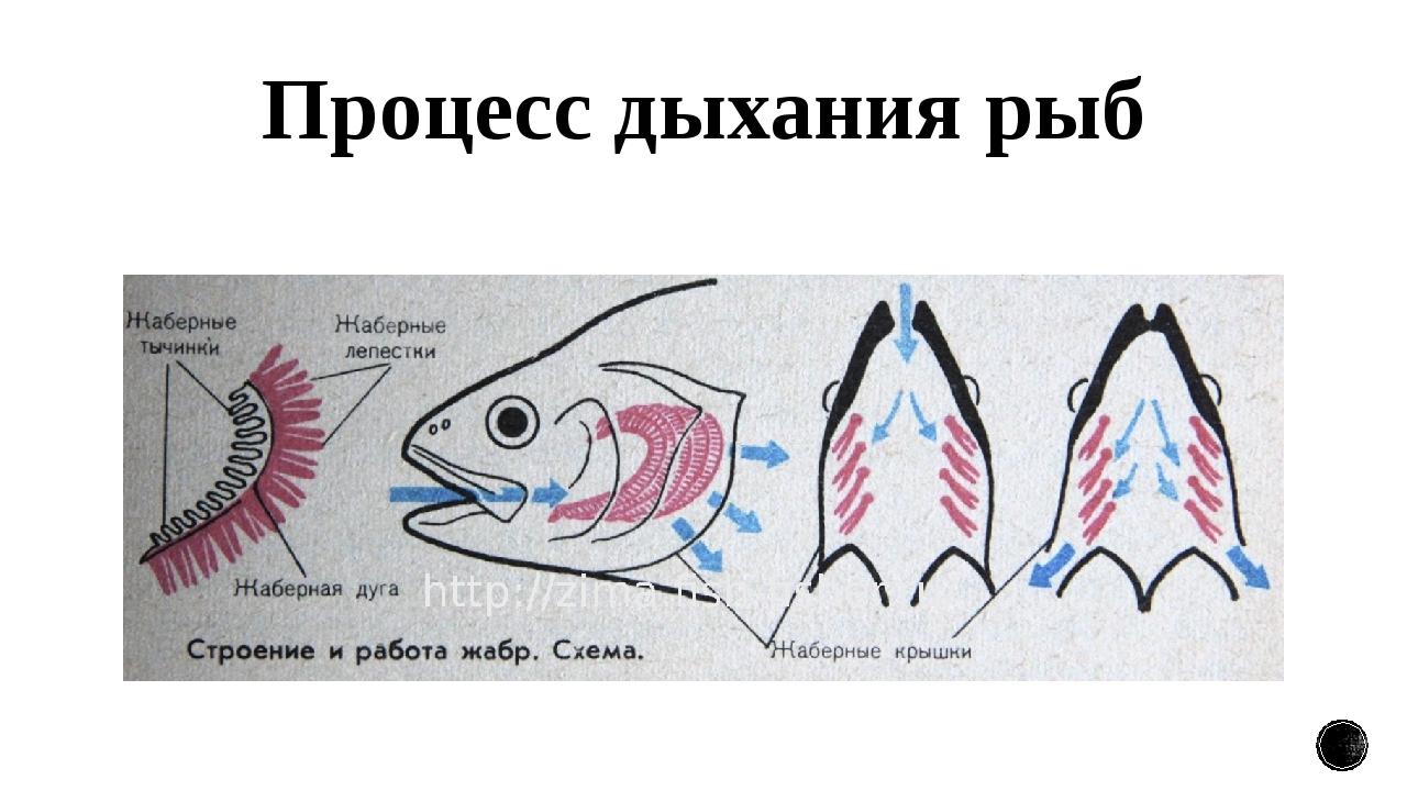 Процесс дыхания рыб
