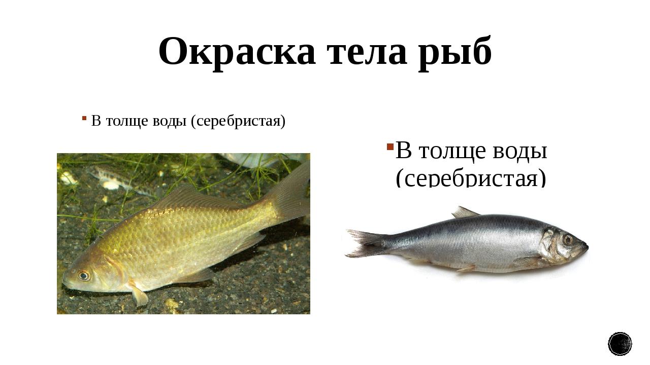 Окраска тела рыб В толще воды (серебристая) В толще воды (серебристая)