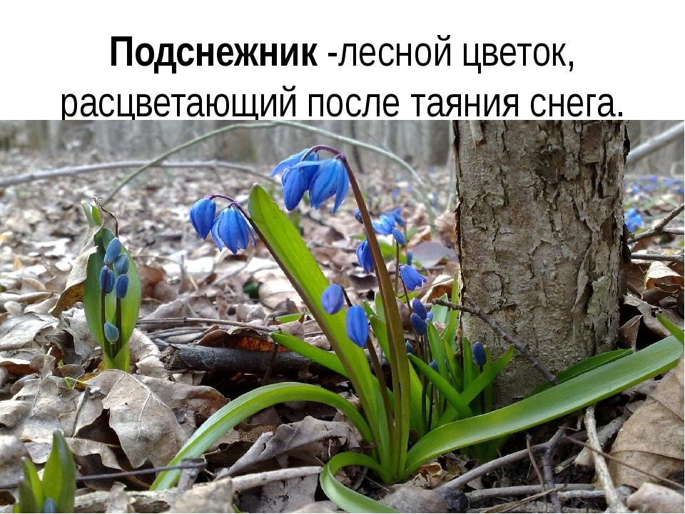 Подснежник -лесной цветок, расцветающий после таяния снега.