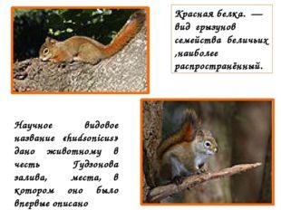 Красная белка. — вид грызунов семейства беличьих ,наиболее распространённый.