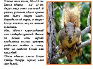 Длина тела белок 28—35см, длина хвоста— 9,5—15см. Окрас меха очень изменчи
