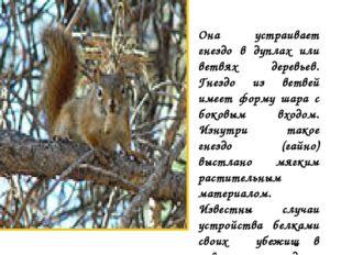 Она устраивает гнездо в дуплах или ветвях деревьев. Гнездо из ветвей имеет фо