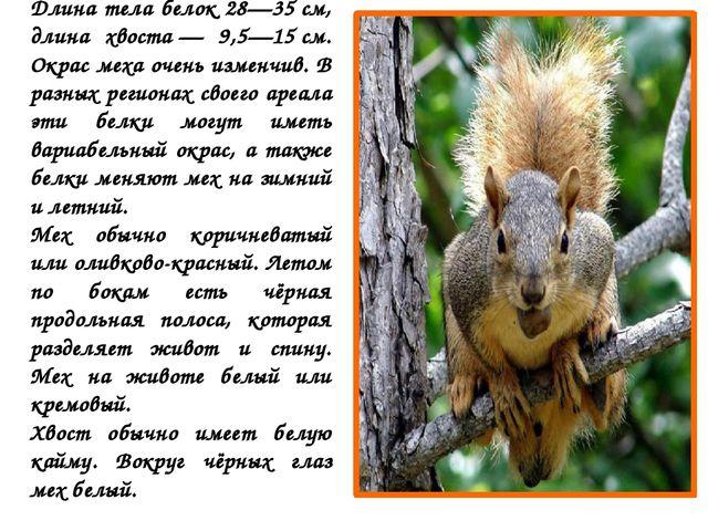 Длина тела белок 28—35см, длина хвоста— 9,5—15см. Окрас меха очень изменчи...
