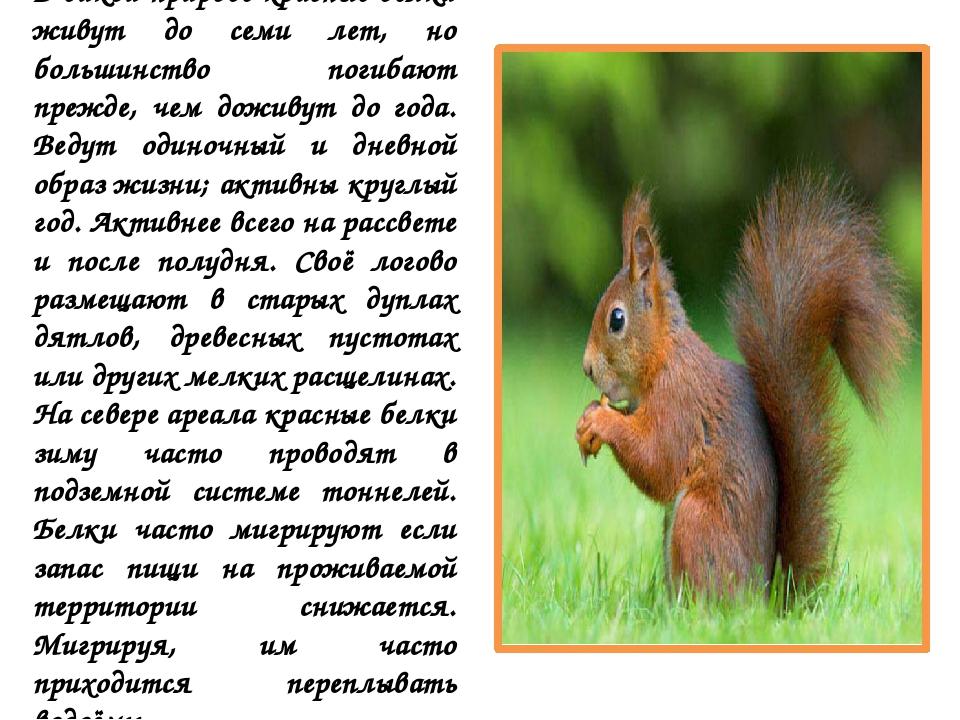В дикой природе красные белки живут до семи лет, но большинство погибают преж...