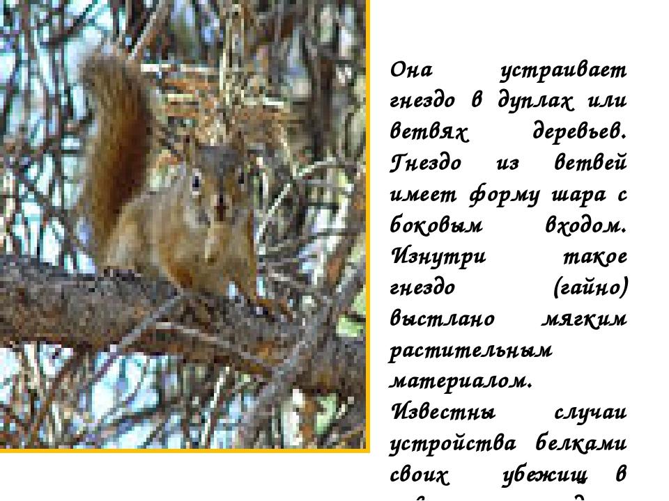 Она устраивает гнездо в дуплах или ветвях деревьев. Гнездо из ветвей имеет фо...