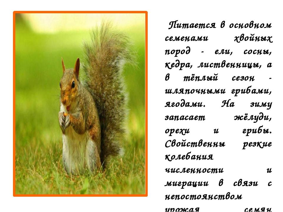 Питается в основном семенами хвойных пород - ели, сосны, кедра, лиственницы,...