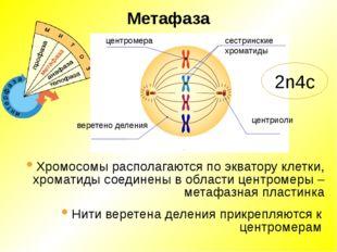 Метафаза центромера сестринские хроматиды центриоли веретено деления Хромосом