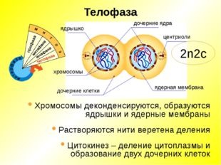 Телофаза ядрышко дочерние ядра центриоли ядерная мембрана хромосомы дочерние