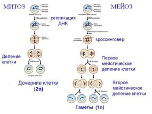 Сравнение митоза и мейоза