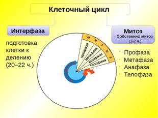 Интерфаза Митоз Клеточный цикл Профаза Метафаза Анафаза Телофаза подготовка к