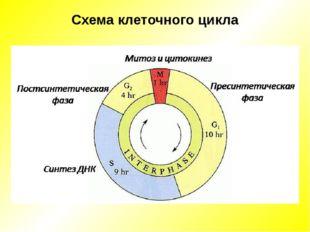 Схема клеточного цикла