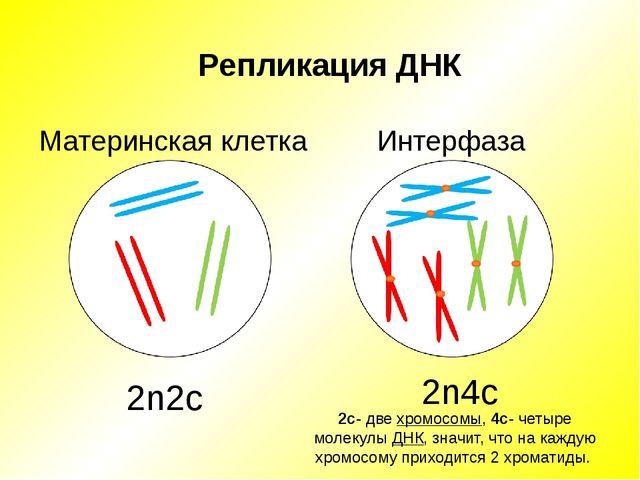 Репликация ДНК Материнская клетка Интерфаза 2n2c 2n4c 2с- две хромосомы, 4с-...