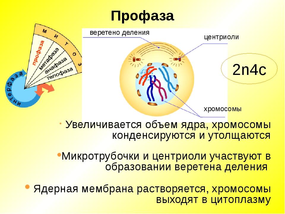 Профаза Микротрубочки и центриоли участвуют в образовании веретена деления хр...