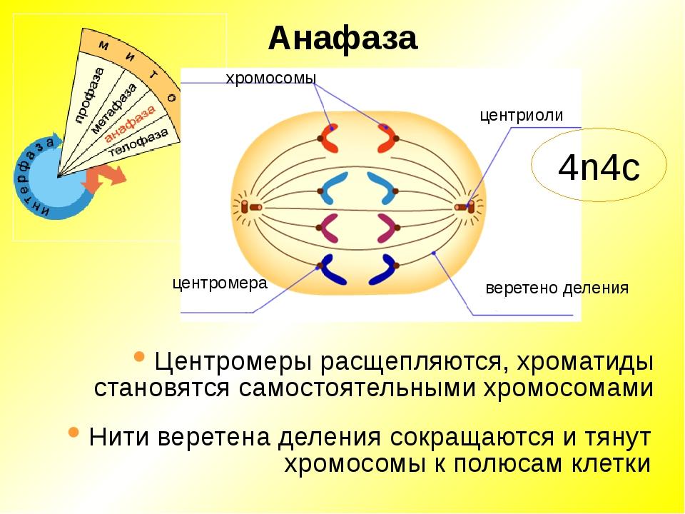 Анафаза хромосомы центриоли веретено деления центромера Центромеры расщепляют...