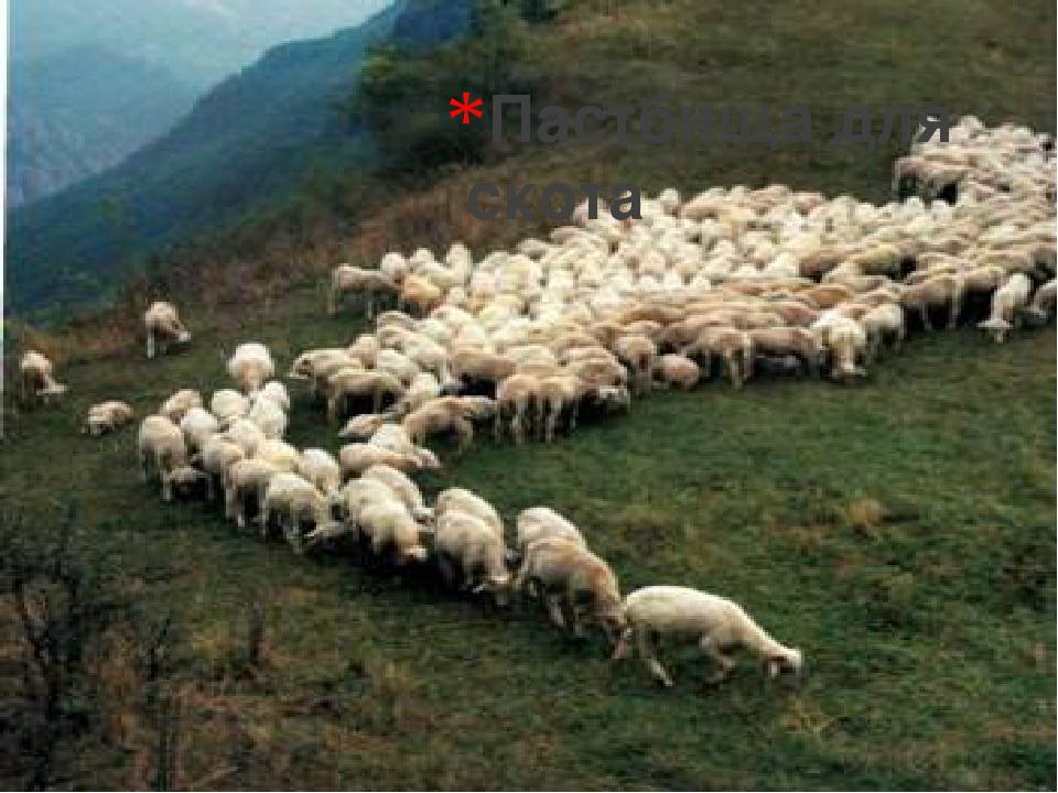 Пастбища для скота