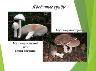 Мухомор вонючий или белая поганка Мухомор пантерный Ядовитые грибы
