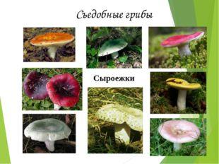 Съедобные грибы Сыроежки