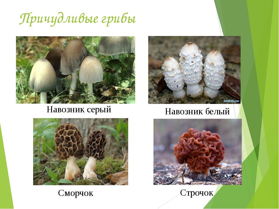 Причудливые грибы Сморчок Строчок Навозник белый Навозник серый