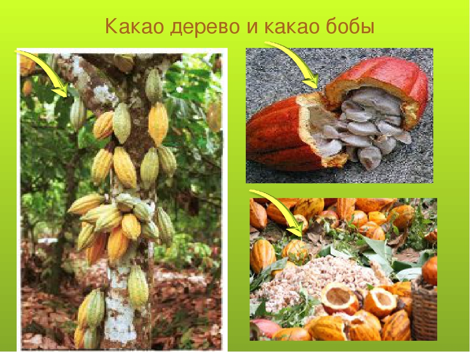Какао дерево и какао бобы