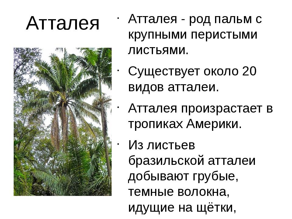 Атталея Атталея - род пальм с крупными перистыми листьями. Существует около 2...