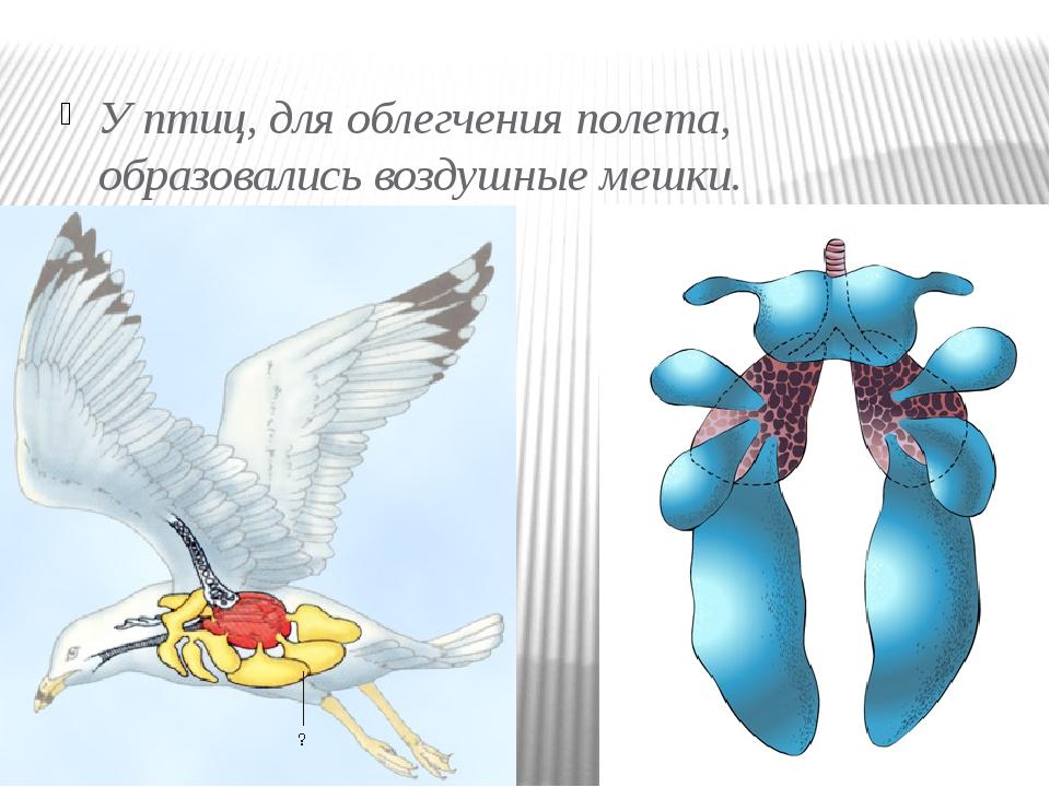 У птиц, для облегчения полета, образовались воздушные мешки.
