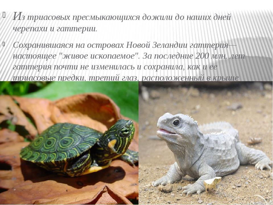 Из триасовых пресмыкающихся дожили до наших дней черепахи и гаттерии. Сохрани...