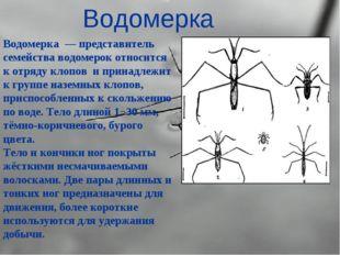 Водомерка Водомерка — представитель семейства водомерок относится к отряду кл