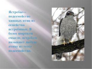 Ястребы— подсемейство хищных птиц из семейства ястребиных. В более широком см
