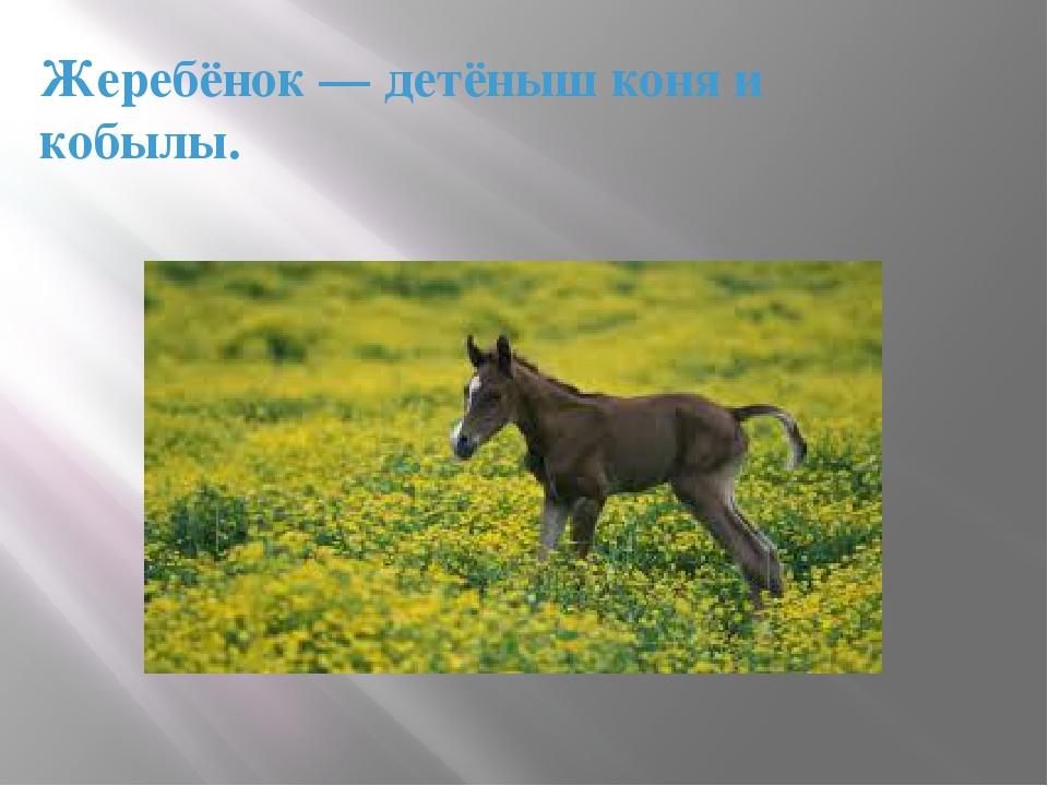 Жеребёнок— детёныш коня и кобылы.