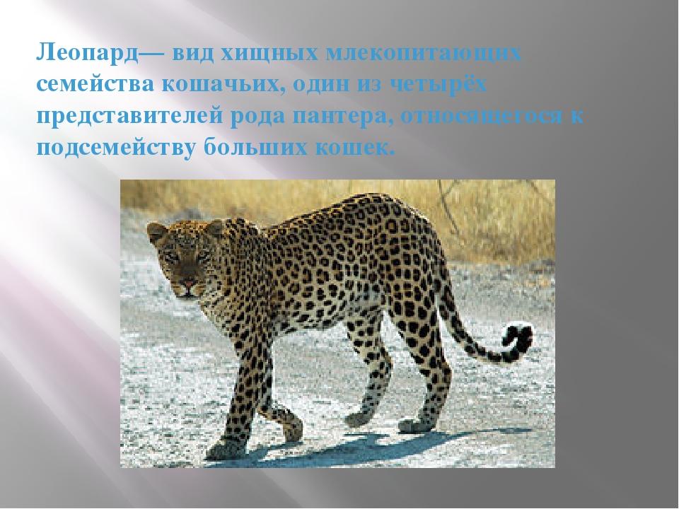 Леопард— вид хищных млекопитающих семейства кошачьих, один из четырёх предста...