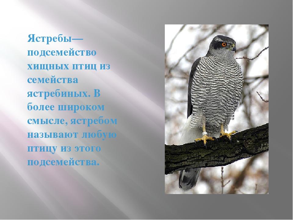 Ястребы— подсемейство хищных птиц из семейства ястребиных. В более широком см...