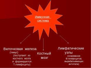 Иммунная система Вилочковая железа (тимус) (поступают из костного мозга и фо
