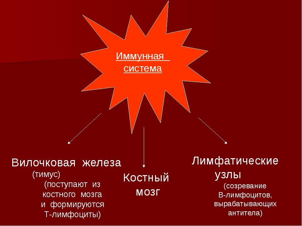 Иммунная система Вилочковая железа (тимус) (поступают из костного мозга и фо...