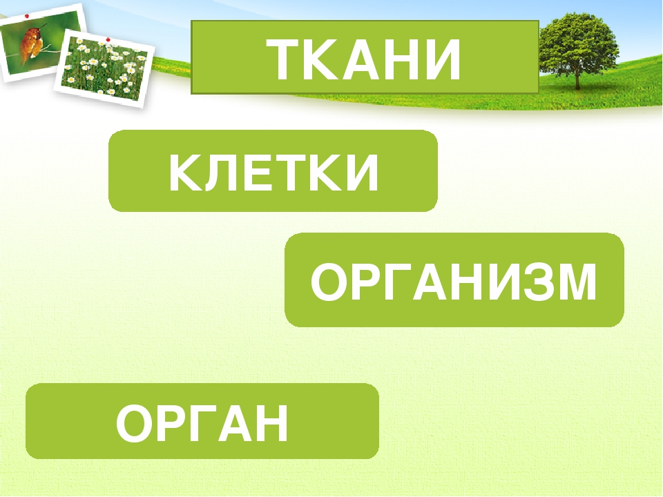 КЛЕТКИ ОРГАН ОРГАНИЗМ ТКАНИ