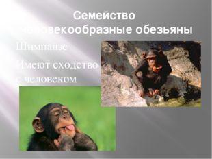Семейство Человекообразные обезьяны Шимпанзе Имеют сходство с человеком