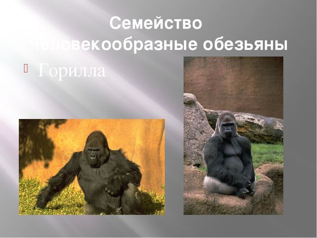 Семейство Человекообразные обезьяны Горилла