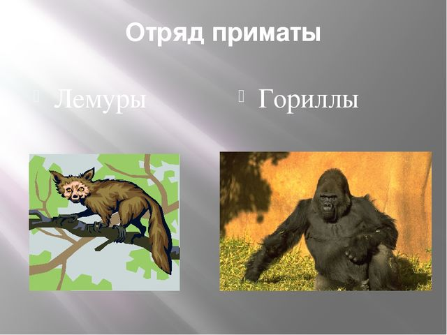 Отряд приматы Лемуры Гориллы