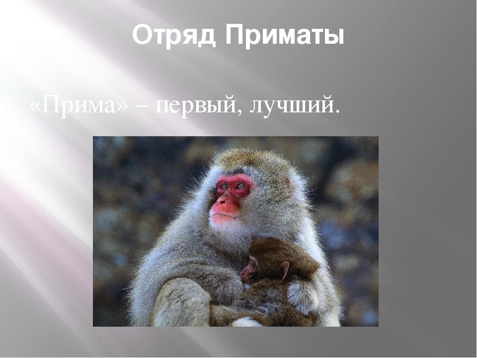 Отряд Приматы «Прима» – первый, лучший.