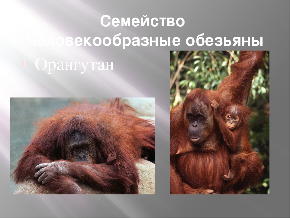 Семейство Человекообразные обезьяны Орангутан