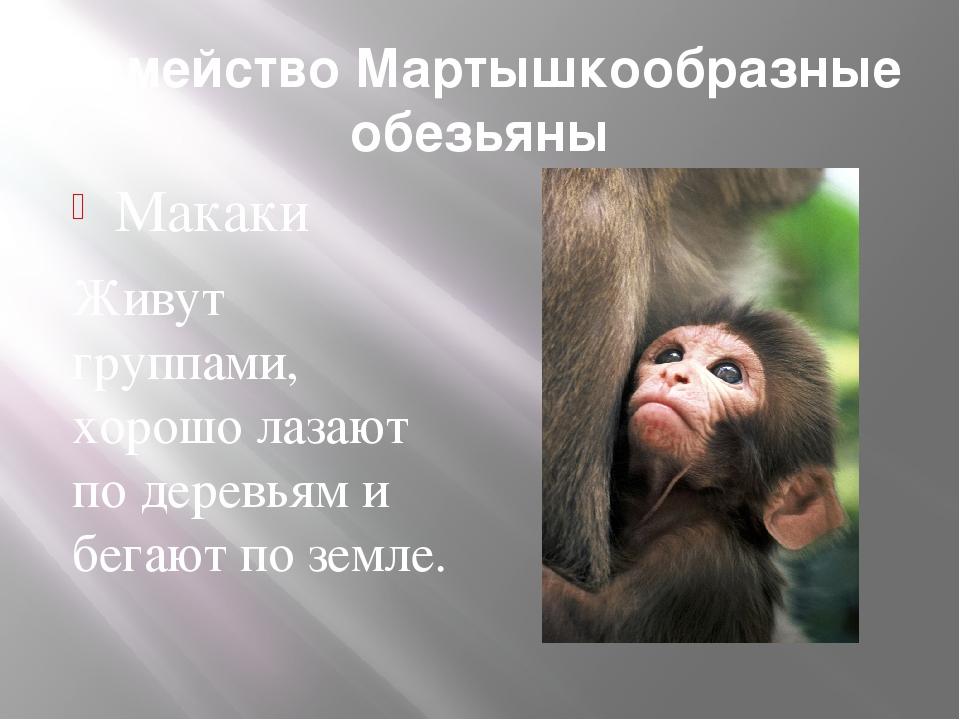 Семейство Мартышкообразные обезьяны Макаки Живут группами, хорошо лазают по д...
