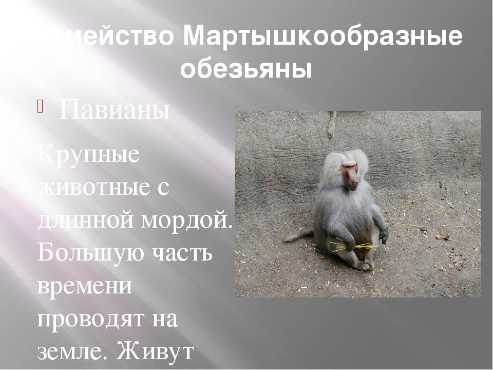 Семейство Мартышкообразные обезьяны Павианы Крупные животные с длинной мордой...