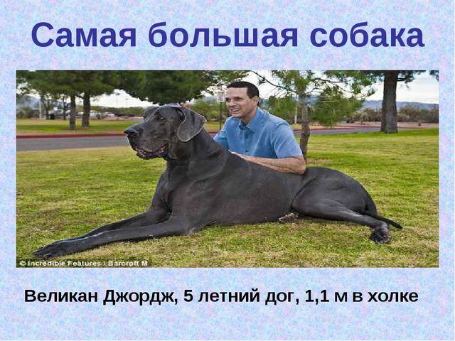 Самая большая собака Великан Джордж, 5 летний дог, 1,1 м в холке