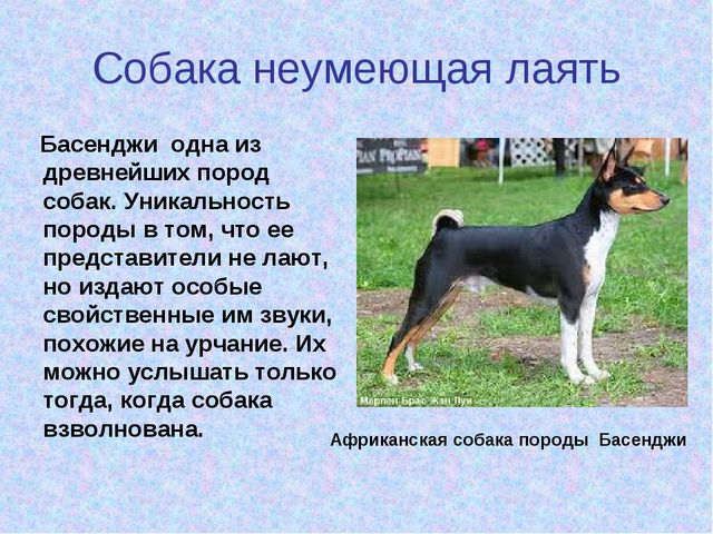 Собака неумеющая лаять Басенджи одна из древнейших пород собак. Уникальность...