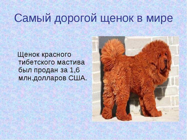 Самый дорогой щенок в мире Щенок красного тибетского мастива был продан за 1,...