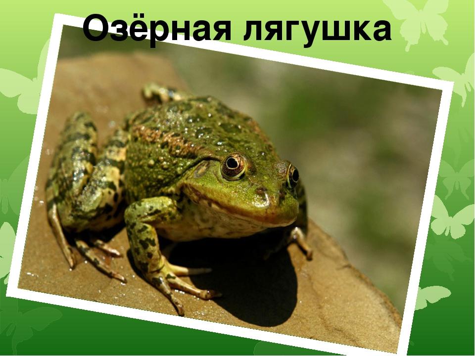 Озёрная лягушка