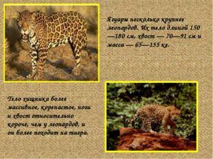 Ягуары несколько крупнее леопардов. Их тело длиной 150—180 см, хвост — 70—91