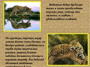 Животные ведут бродячую жизнь и часто преодолевают широкие реки, потому что о