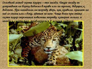 Основной метод охоты ягуара – это засада. Такую засаду он устраивает на берег