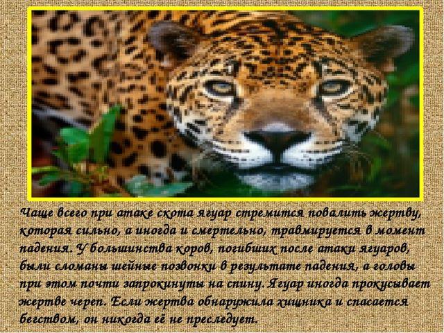Чаще всего при атаке скота ягуар стремится повалить жертву, которая сильно,...
