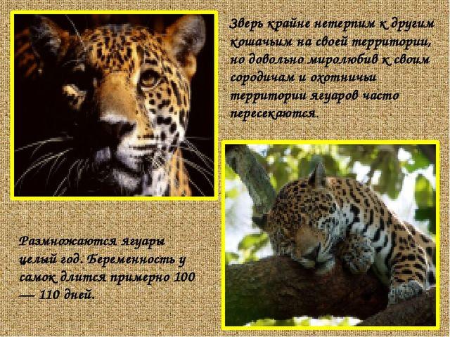 Размножаются ягуары целый год. Беременность у самок длится примерно 100 — 110...